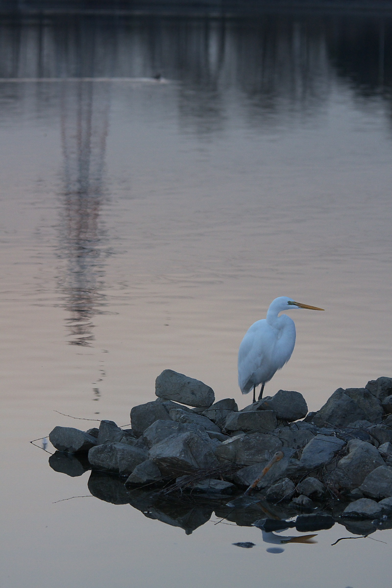 鷺<a heron> 2_f0021869_21341256.jpg