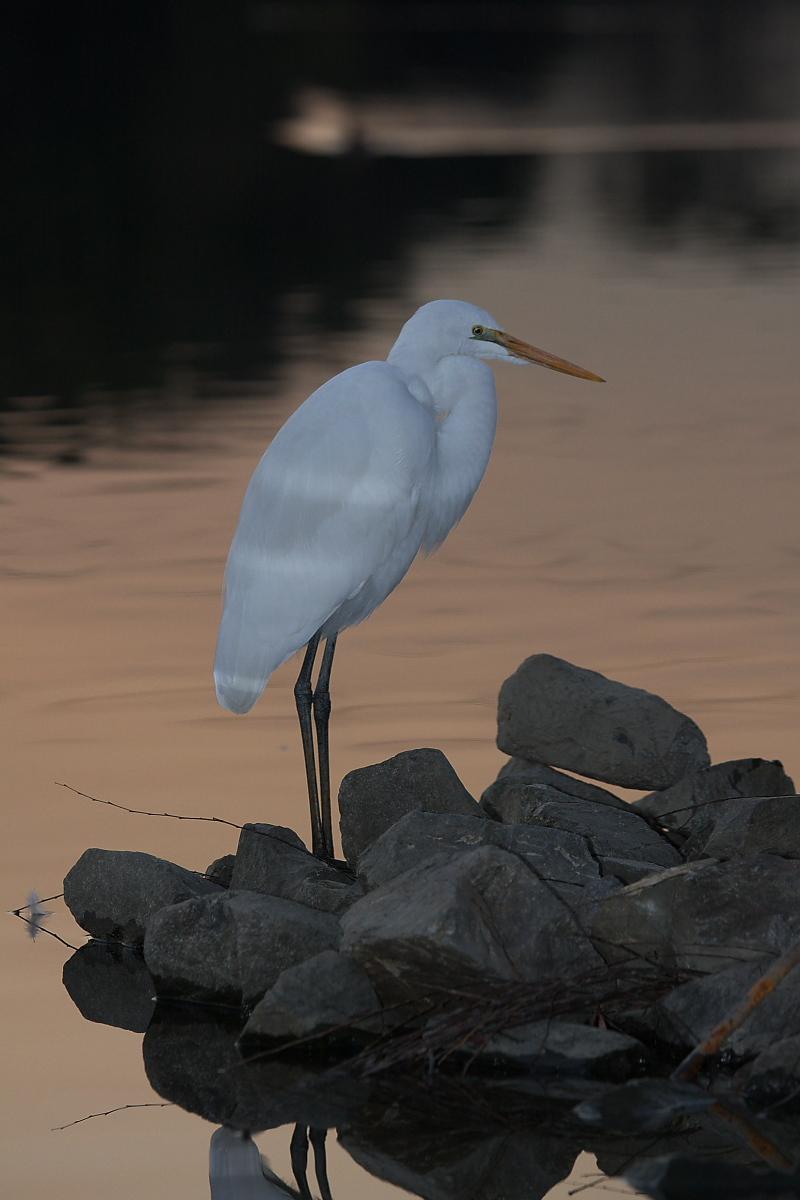 鷺<a heron> 2_f0021869_21361810.jpg