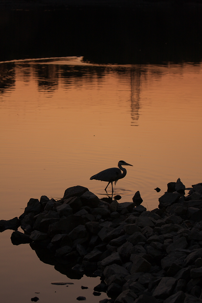 鷺<a heron> 2_f0021869_2137326.jpg