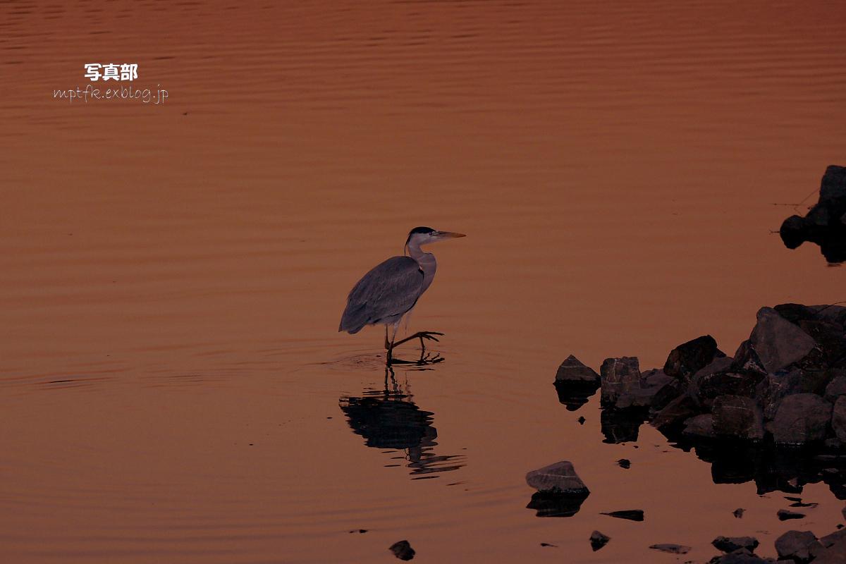 鷺<a heron> 2_f0021869_21445979.jpg