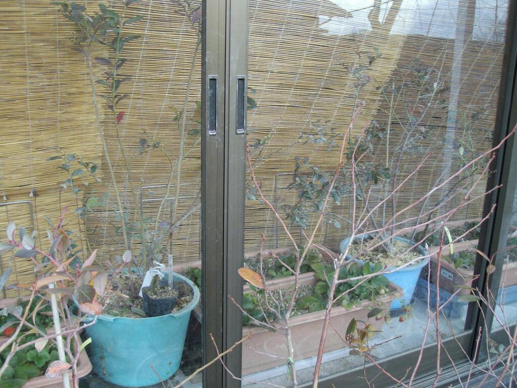 屋内栽培のサザンハイブッシュ系とヒヨドリ_f0018078_17412199.jpg