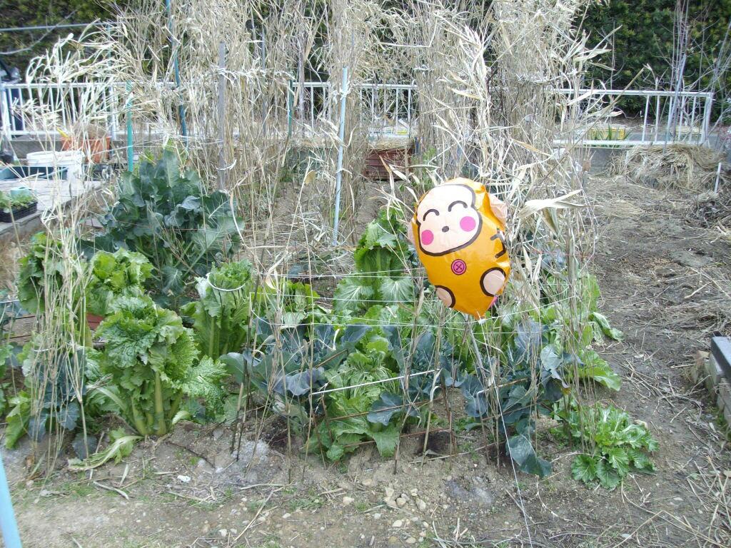 屋内栽培のサザンハイブッシュ系とヒヨドリ_f0018078_17443982.jpg
