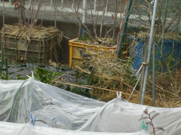 屋内栽培のサザンハイブッシュ系とヒヨドリ_f0018078_17451764.jpg
