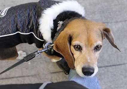 秋田犬と薩摩ビーグル_a0070350_19255978.jpg