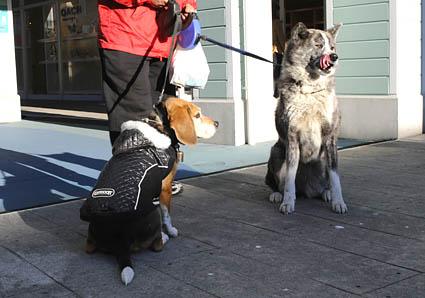 秋田犬と薩摩ビーグル_a0070350_1928046.jpg