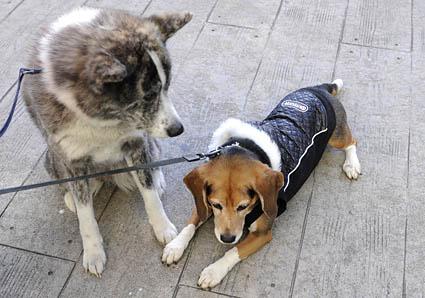 秋田犬と薩摩ビーグル_a0070350_19283177.jpg