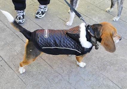 秋田犬と薩摩ビーグル_a0070350_1929482.jpg