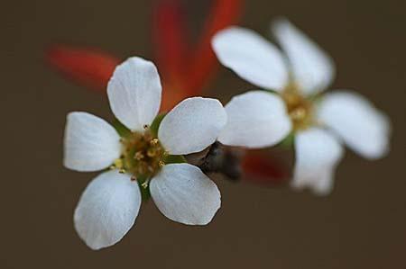 雪柳と、冬咲きクレマチス_f0030085_14485212.jpg