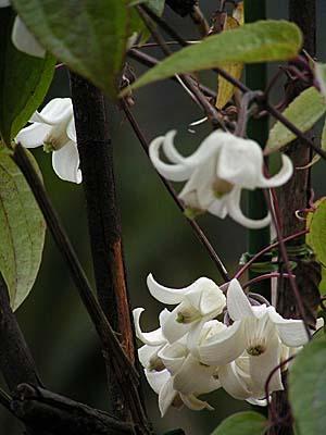 雪柳と、冬咲きクレマチス_f0030085_14514829.jpg