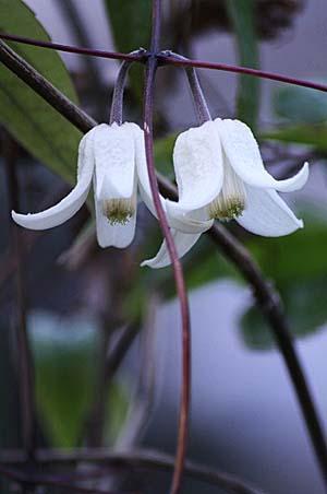雪柳と、冬咲きクレマチス_f0030085_14521219.jpg