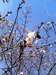 寒桜_a0103940_2245245.jpg
