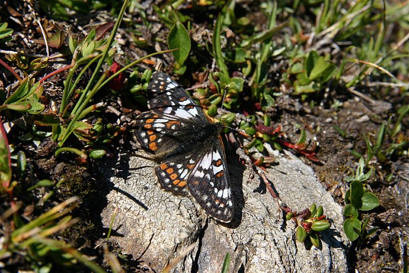 スイスの花と蝶2007(5) ゴルナーグラート展望台①_d0054625_22492656.jpg