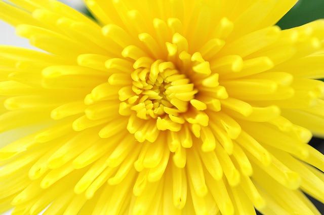 キク アナスタシア 黄色