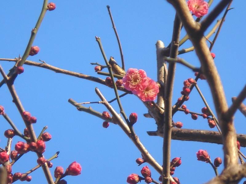梅の花_f0059673_8584081.jpg