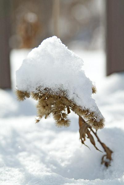 雪をかぶり…_e0117517_7422128.jpg