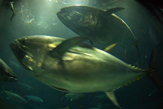 回遊魚水槽_f0018464_782536.jpg