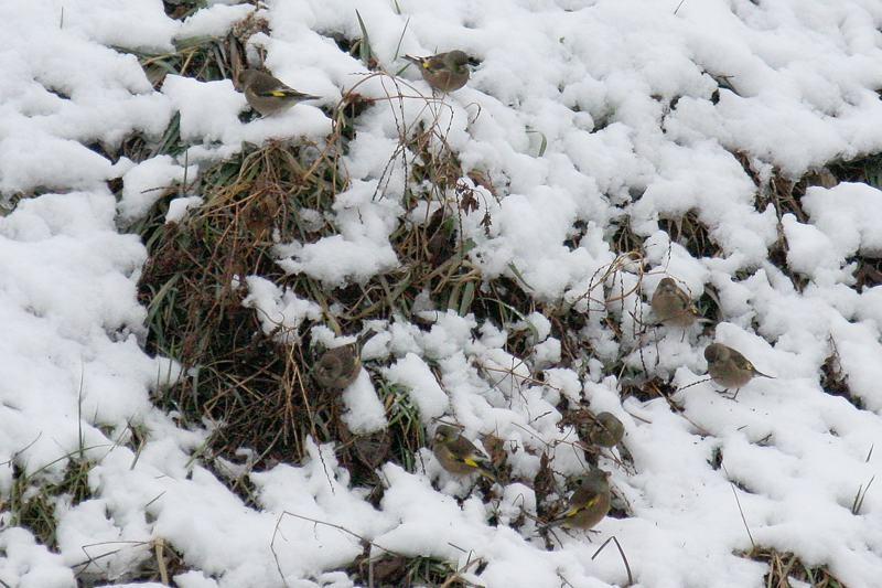 速報/雪のMFと野鳥たち_b0024798_14394356.jpg