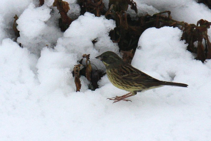速報/雪のMFと野鳥たち_b0024798_14404219.jpg