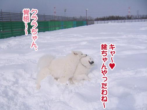 半月ぶりの獅子桃ショコラ_a0044521_22152863.jpg