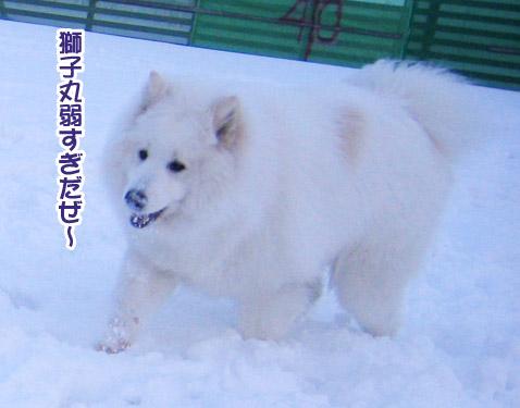 半月ぶりの獅子桃ショコラ_a0044521_22293410.jpg