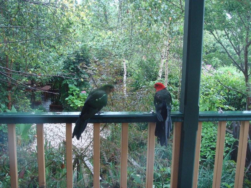 King Parrots_f0155522_10513562.jpg