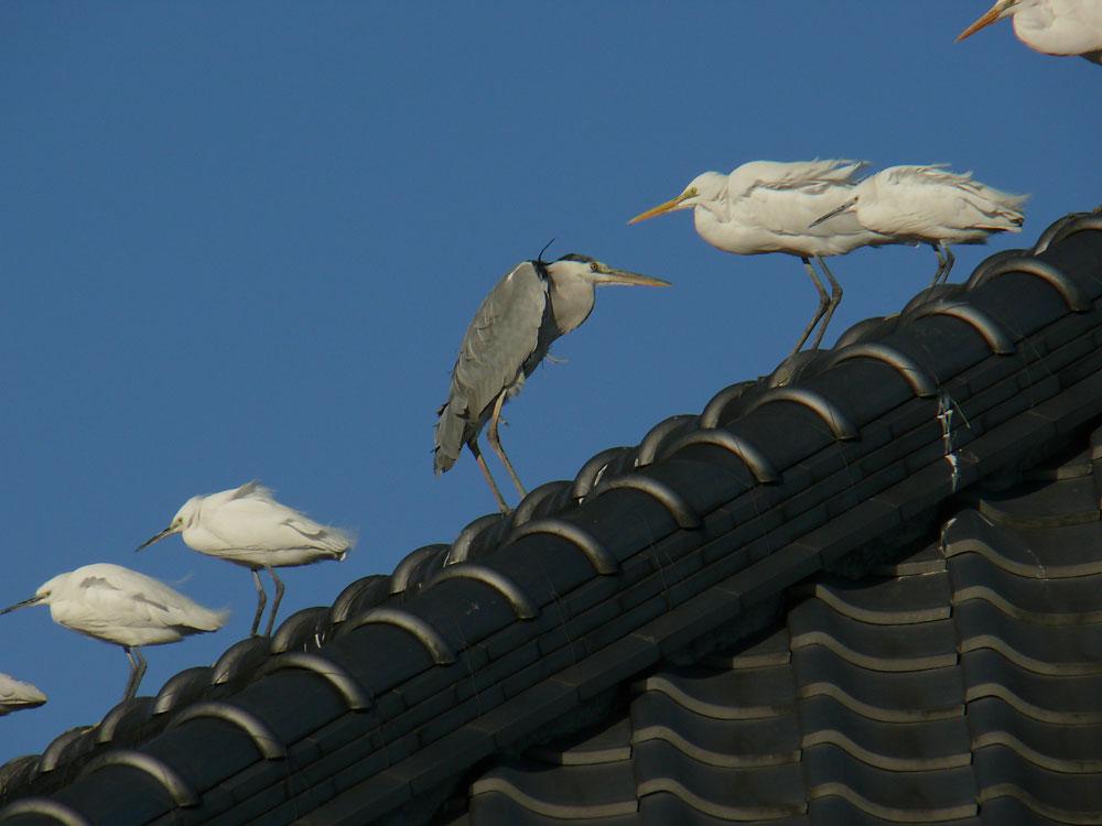 大きな瓦屋根の サギたち_e0088233_211383.jpg