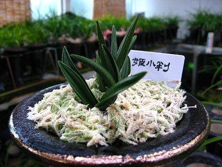 ◆日本春蘭チャボラシャ「姫小判」         No.211_d0103457_021569.jpg