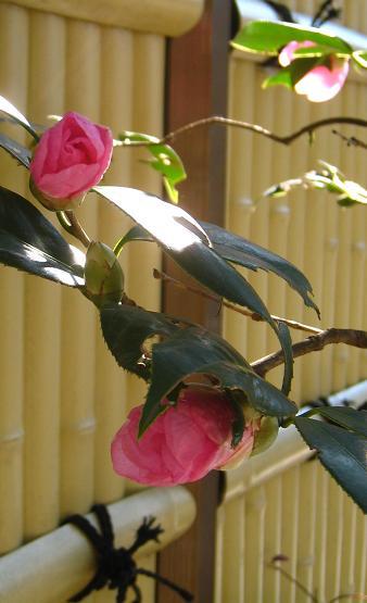 雪の後は、わびすけの花を楽しむ_a0107574_19334412.jpg
