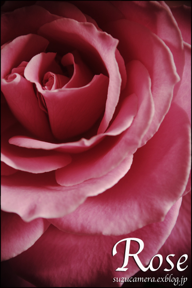 Rose_f0100215_2334235.jpg