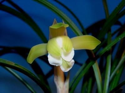 ◆日本春蘭多舌緑舌奇花              No.212_d0103457_1036286.jpg
