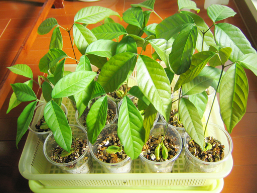 ランブータンの苗, rambutan seedlings