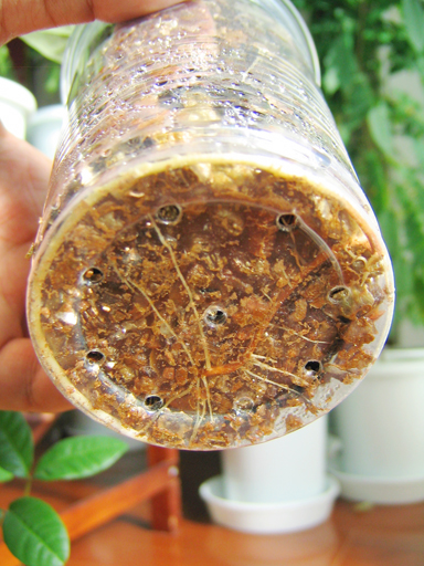 ランブータンの根っ子, rambutan's root