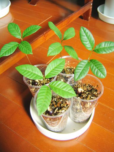 ロンガンの苗, longan seedlings