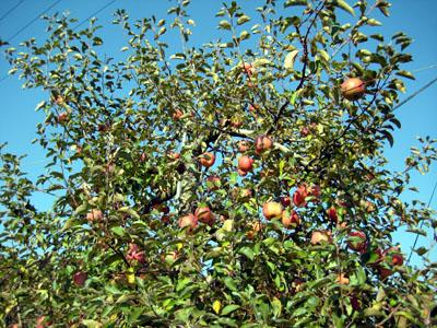 りんご星人たち現る_c0150273_929780.jpg