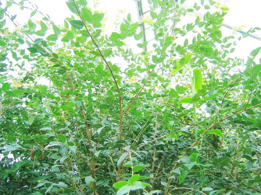 温室内はジャボチカバだらけ, lots of joboticaba shrubs in the greenhouse