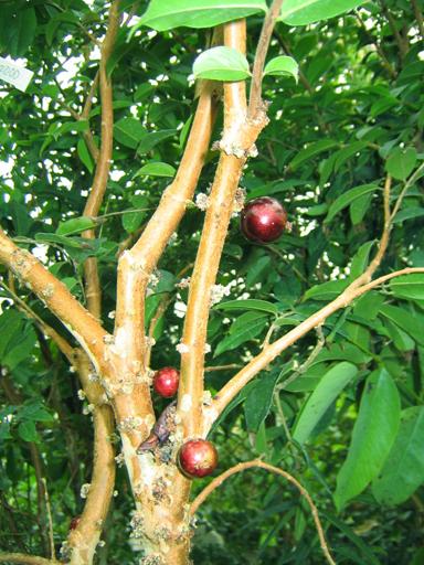 結実中のジャボチカバ, a fruit-bearing jaboticaba tree