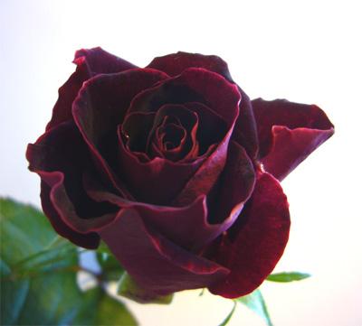 2月の薔薇--- ブラックビューティー_f0105054_1954461.jpg