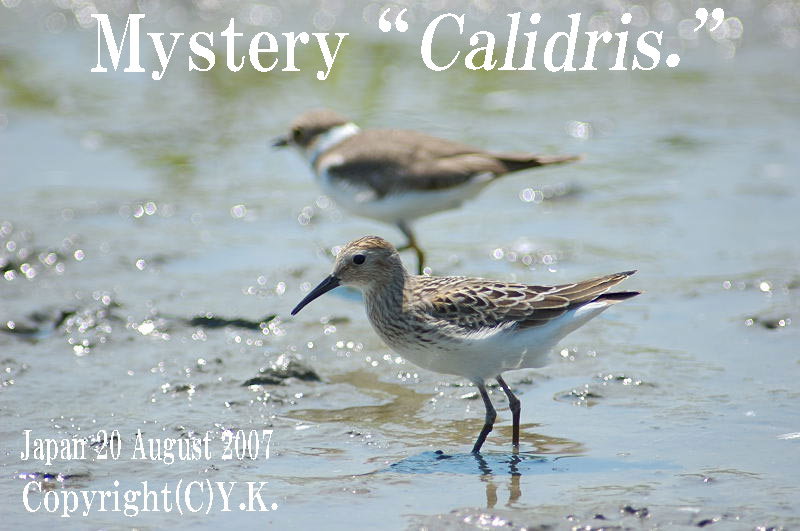 "雑種シギ Mystery \""Calidris\""_c0071489_131622.jpg"
