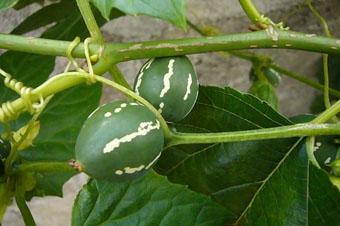 water melon?_c0153966_2030465.jpg