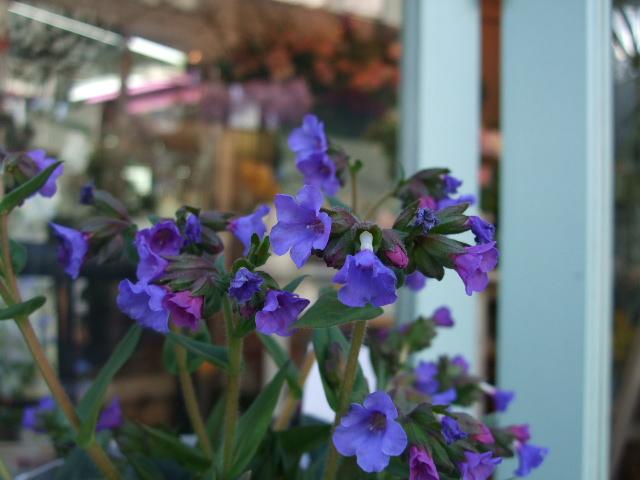 オークリーフ(青い花、プルモナリア)_f0049672_16123173.jpg