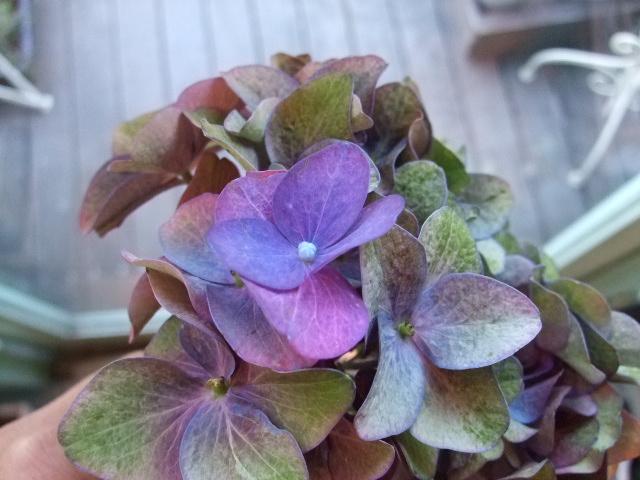 オークリーフ(青い花、プルモナリア)_f0049672_16511176.jpg
