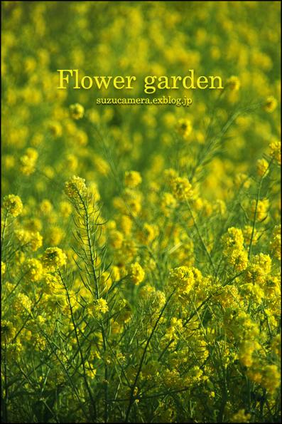 菜の花畑_f0100215_1030074.jpg
