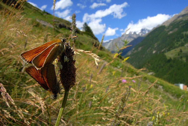 スイスの花と蝶2007(5) ゴルナーグラート展望台②_d0054625_23295593.jpg