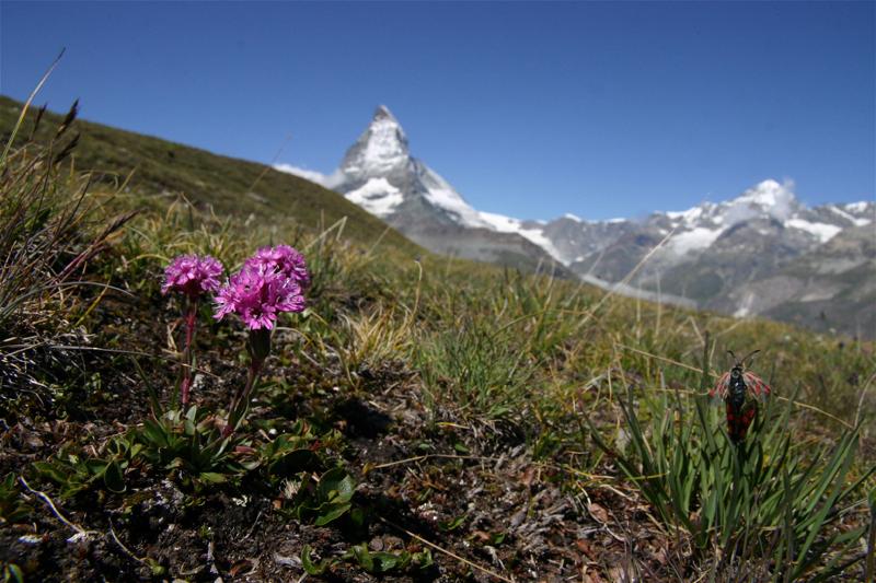 スイスの花と蝶2007(5) ゴルナーグラート展望台②_d0054625_2354262.jpg