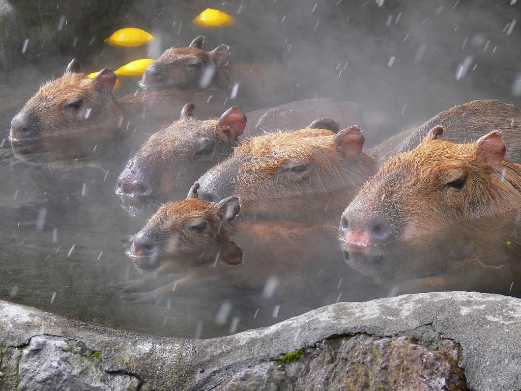 画像 ほのぼの ぬくぬく 温泉に浸かるカピバラさんの画像集