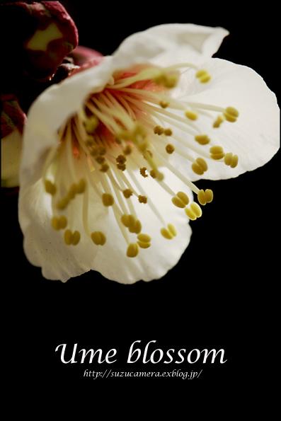 梅の花が咲きました_f0100215_029683.jpg