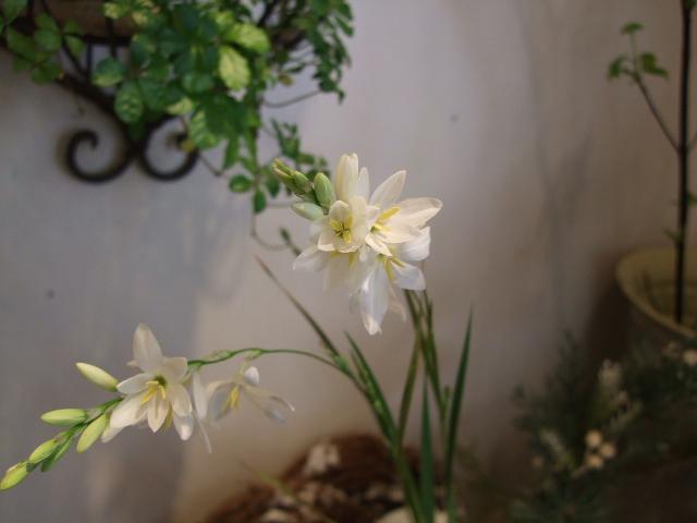 オークリーフ(小さな花)_f0049672_17113485.jpg