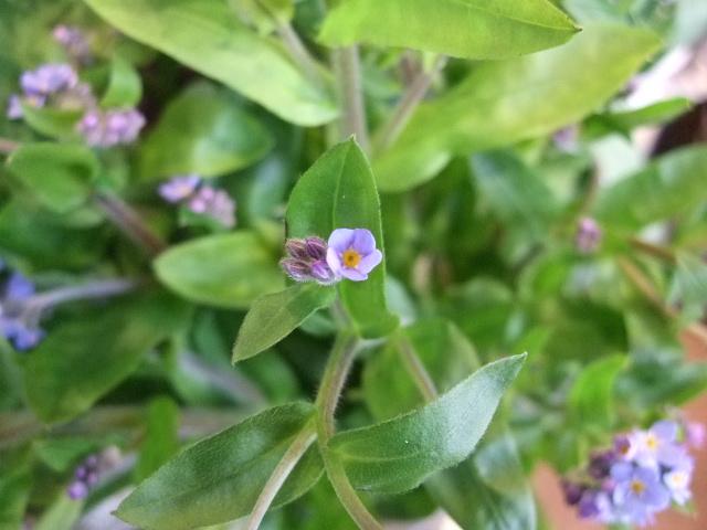 オークリーフ(小さな花)_f0049672_17494930.jpg