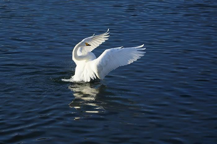 白鳥_c0077395_4501857.jpg