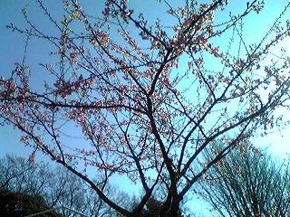 桜_d0050503_2352939.jpg